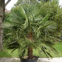 Palmen Schartner - Freilandpalmen